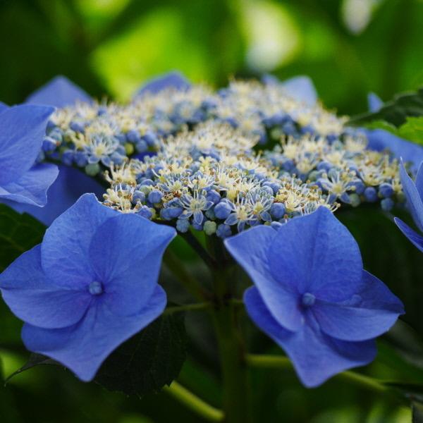 紫陽花 ききょう寺